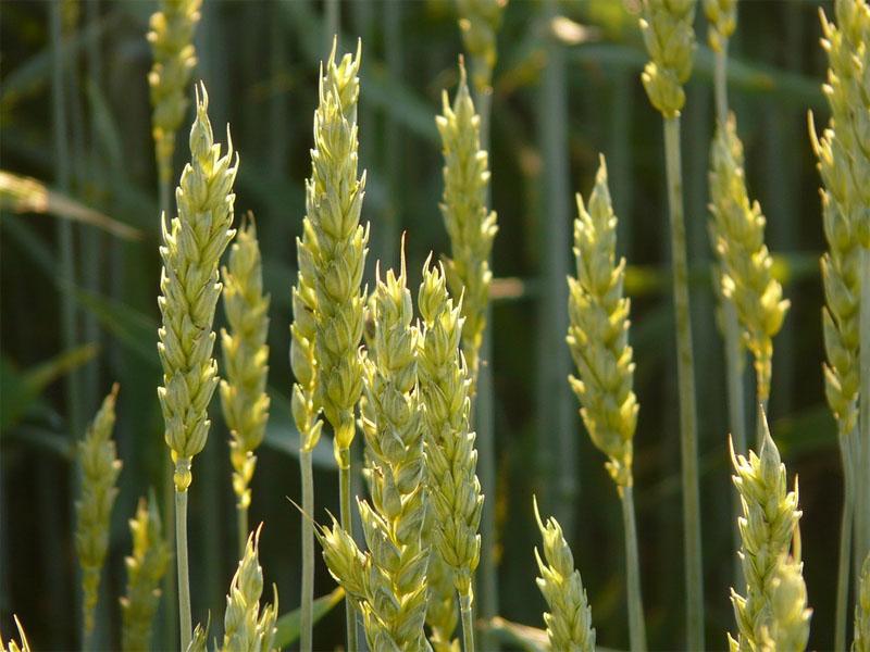 Ardent Mills: commits organic wheat initiative
